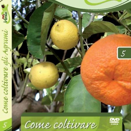 Gli agrumi ornamentali oscar tintori gli agrumi in for Calendario concimazione agrumi
