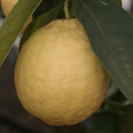 Ibridi di Limone