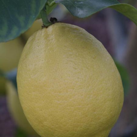 """Limone femminello comune nucellare (o femminello ovale o """"ruvittaru"""""""