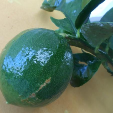 Limone cedrato mangiagli