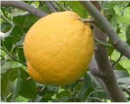 Limone a scorza gentile (detto anche lustrino)