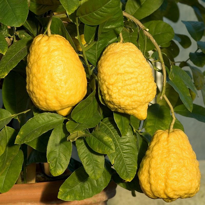 Citrons - Citrus Medica