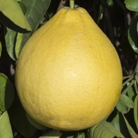 Pummeli - Citrus Grandis