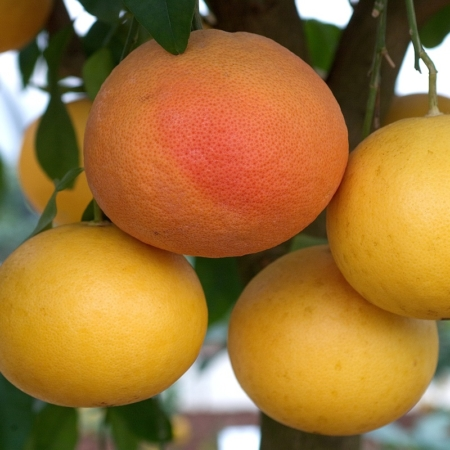 Grapefruits - Citrus Paradisi