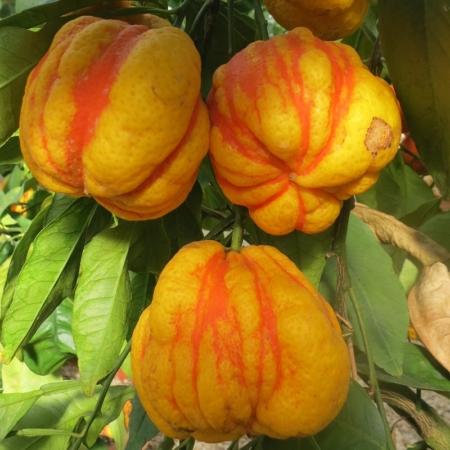 Aranci Amari - Citrus Aurantium