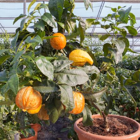 Bitter Oranges - Citrus Aurantium