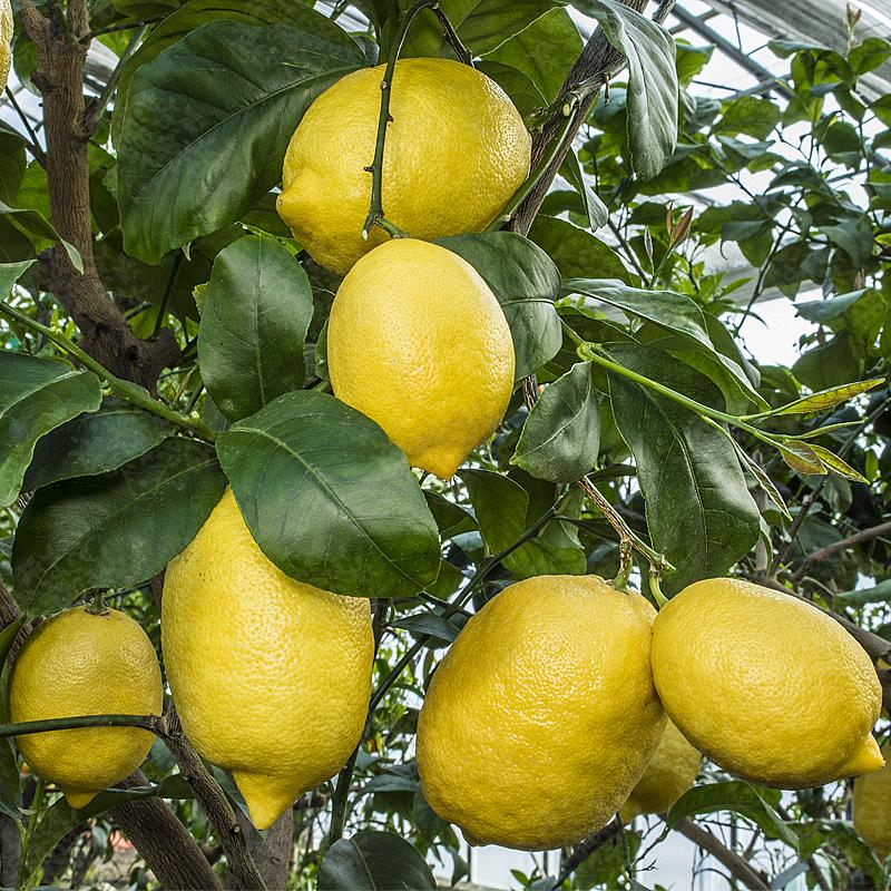 Risultati immagini per limone amalfitano