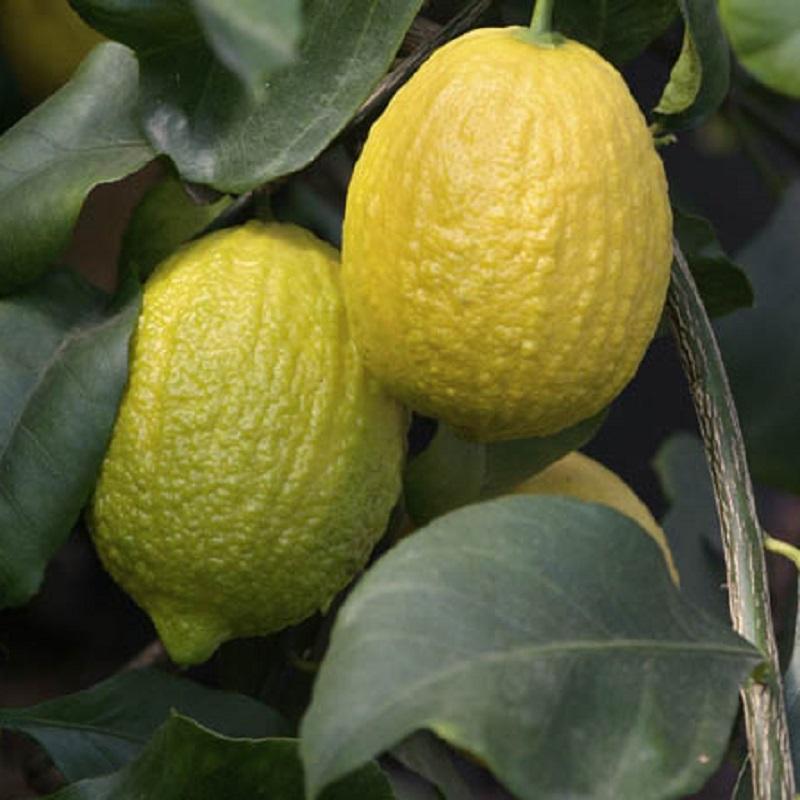 Limone incannellato o scannellato oscar tintori gli for Terriccio per limoni in vaso