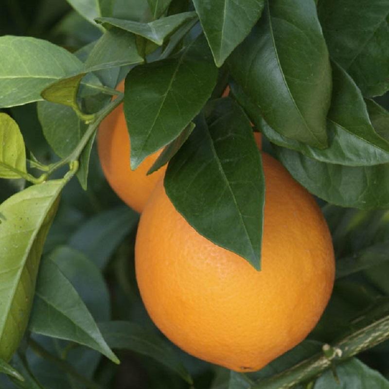 Sweet Oranges - Citrus Sinensis
