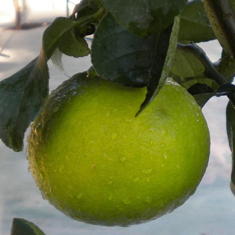 Bergamots - Citrus Bergamia