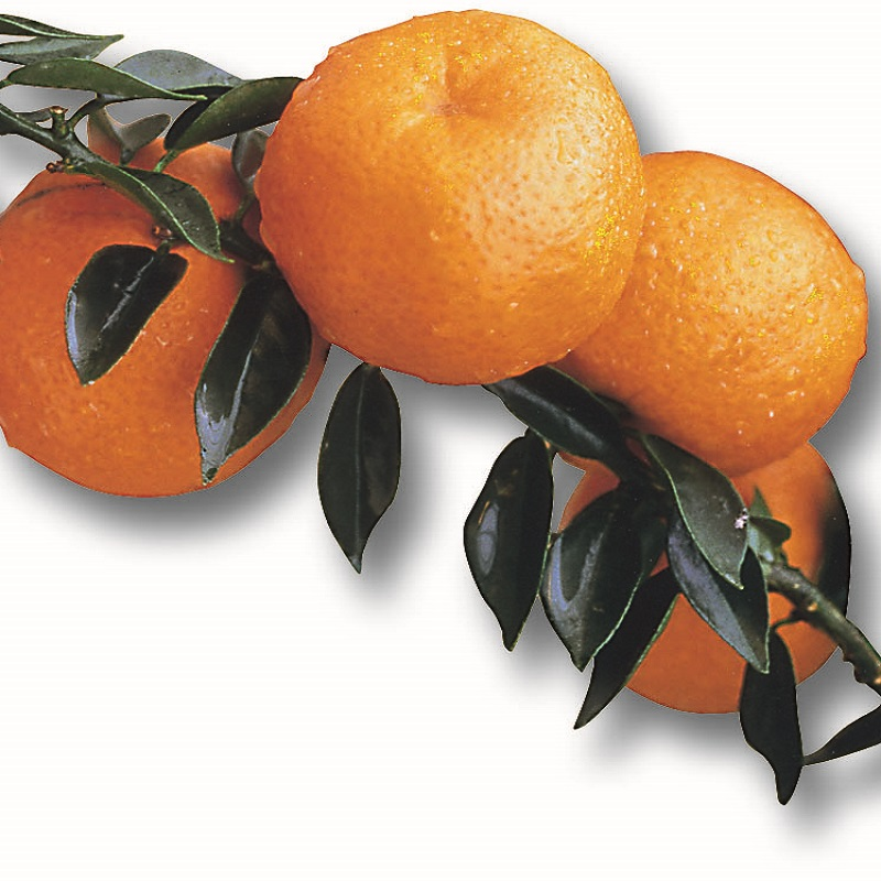 Bitter Mandarines - Citrus Myrtifolia