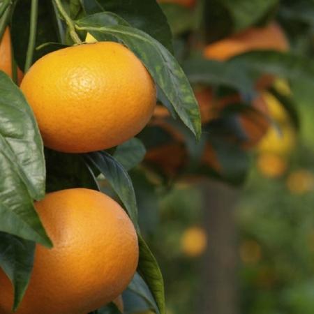 Ibridi Mandarino X Arancio - Tangor