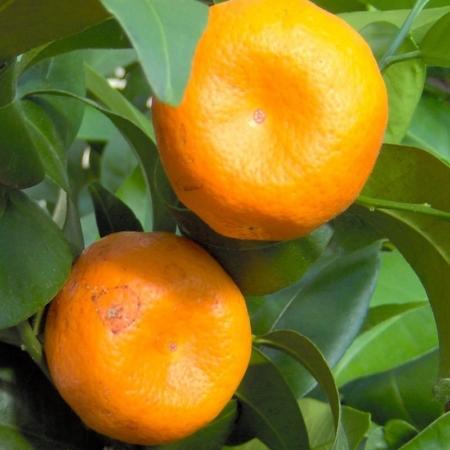 Mandarines - Citrus Deliciosa