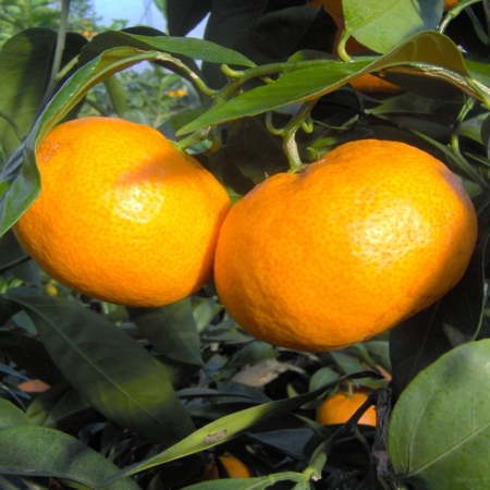 Mandarini Satzuma - Citrus Unshiu