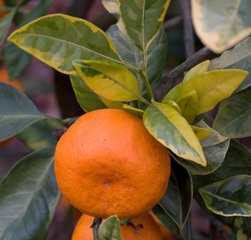 Mandarino satzuma a foglia variegata