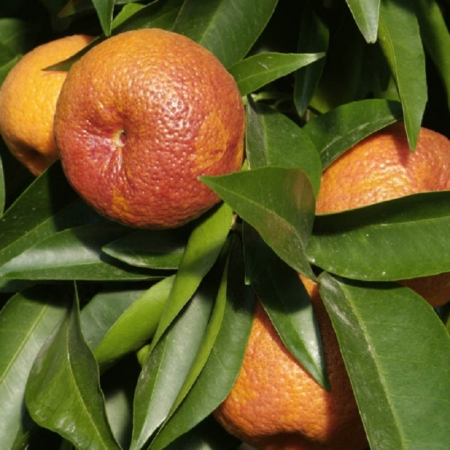 Clementini - Citrus Clementina