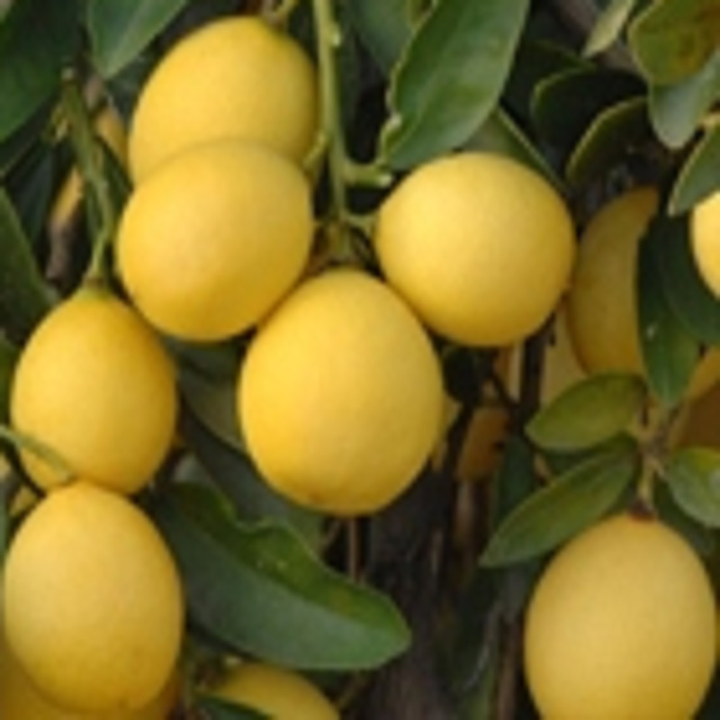 Lime hybrids