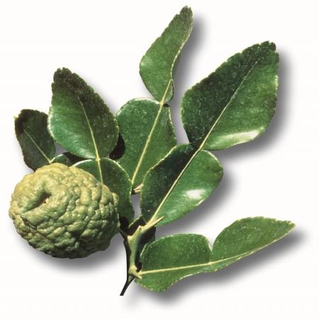 Papede - Citrus Histrix