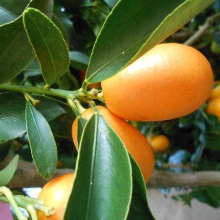 Fortunella ovale a frutto gigante