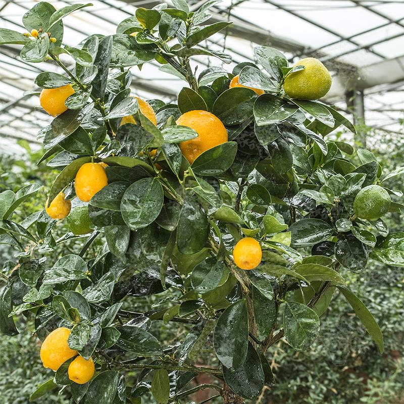 Pictures Of A Kumquat