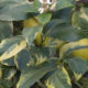 Limone a foglia variegata