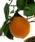 Clementino x limone siracusano