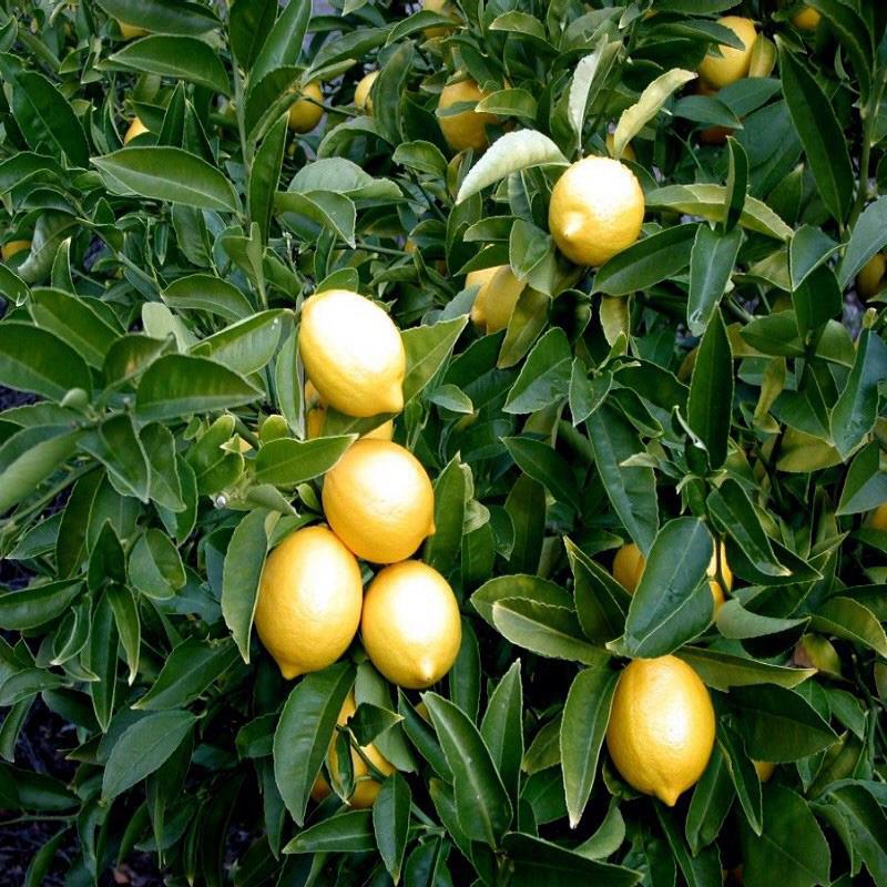 Lemons - Citrus Limon