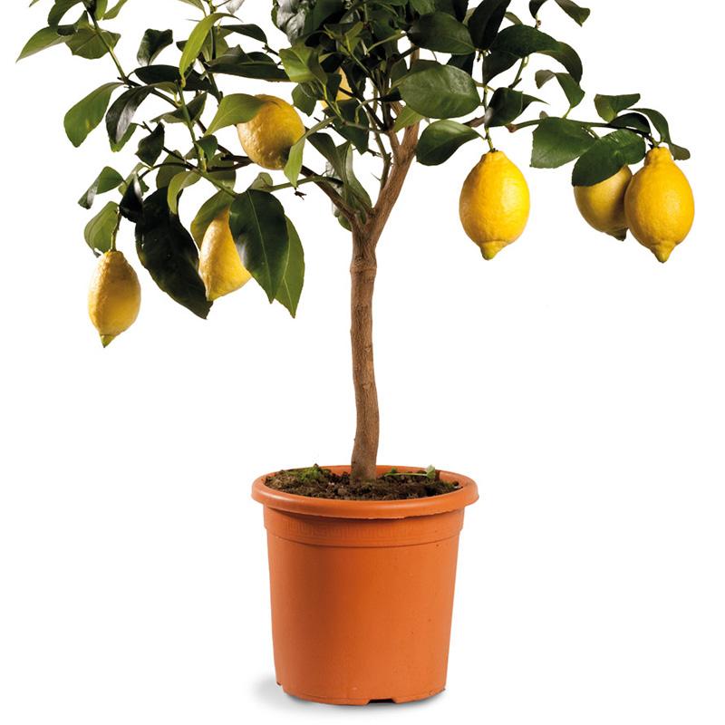 Limone ordinario fiorentino oscar tintori gli agrumi for Pianta di limone