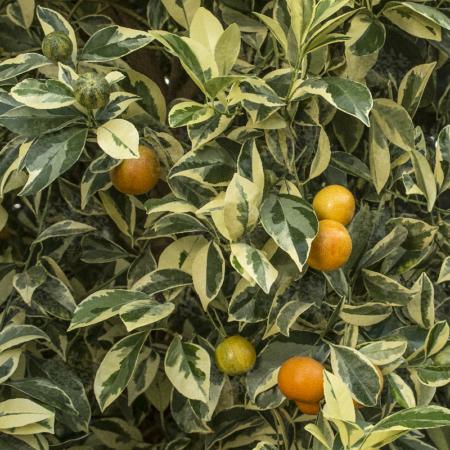 Calamondins - Citrus Madurensis/Citrus Mitis