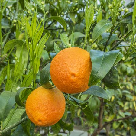 Citrange-Citrangequat and Citrange hybrids