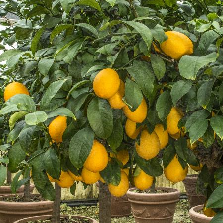 Lemon hybrids