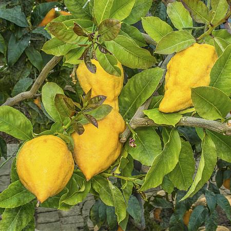 Citrus Limonimedica