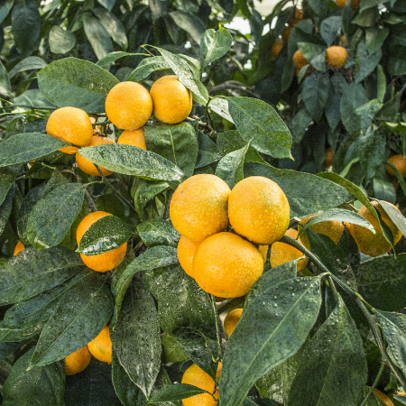 Satzuma mandarines - Citrus Unshiu
