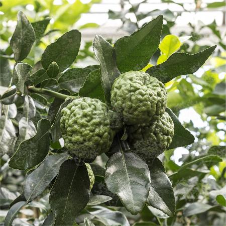 Papedas - Citrus Hystrix