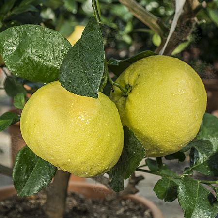 Pomelos - Citrus Grandis