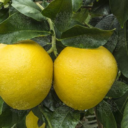 Grapefruits - Citrus Paradisi